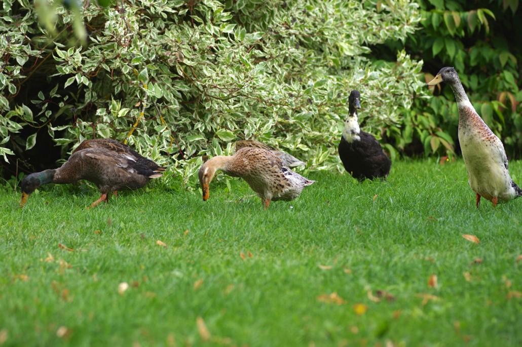 Unsere Entenfamilie im Garten-Bio Bauernhof Leitenmüller