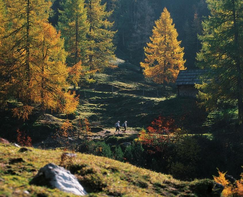 Herbstwanderung inmittten der goldenen Lärchenbäume-Bio Bauernhof Leitenmüller